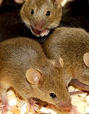 MouseGang